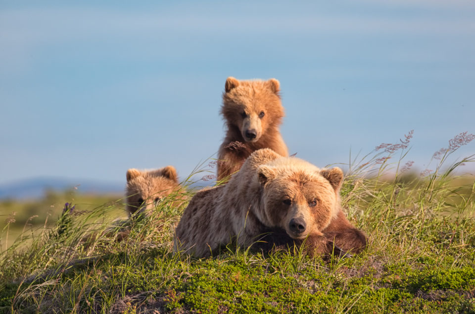 Momma Grizzly and Cubs